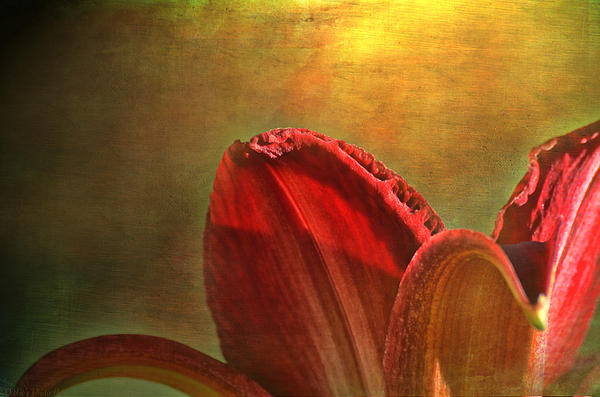 Debbie Portwood - Daylily Photoart with texture