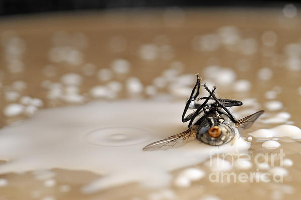 Dead Fly On Milk Drops Print by Sami Sarkis