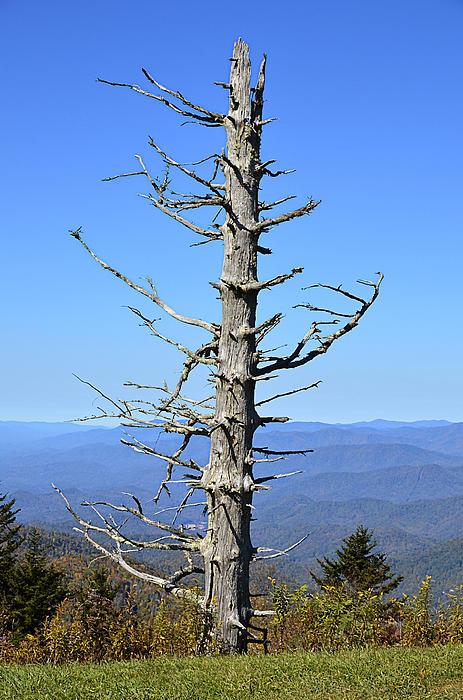 Dead Tree Print by Susan Leggett