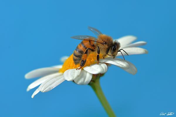Robert Bertino - Dear Bee