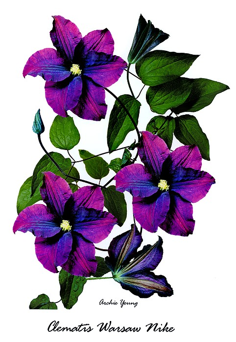Deciduous Climber (clematis Warsaw Nike) Print by Archie Young