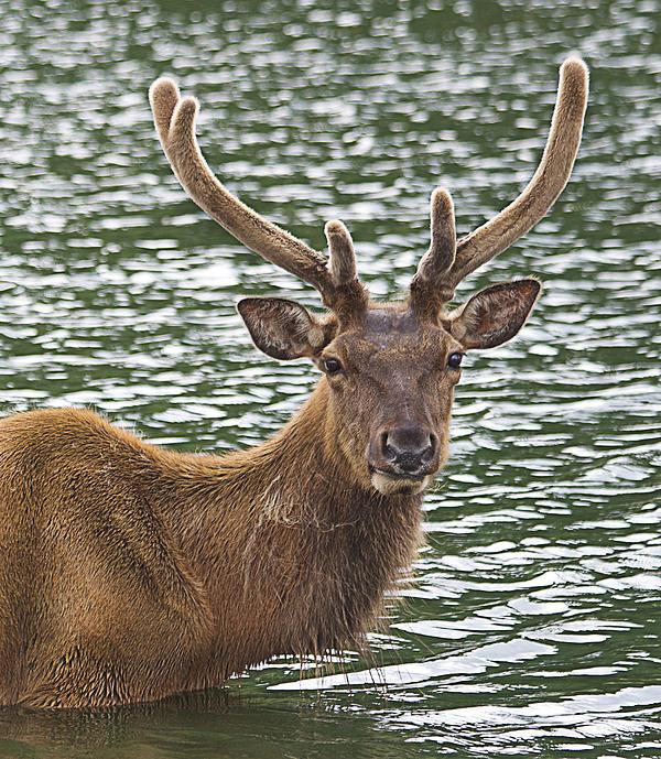 Yosi Cupano - Deer in the water