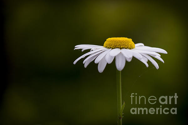 Defiant Daisy Print by Clare Bambers