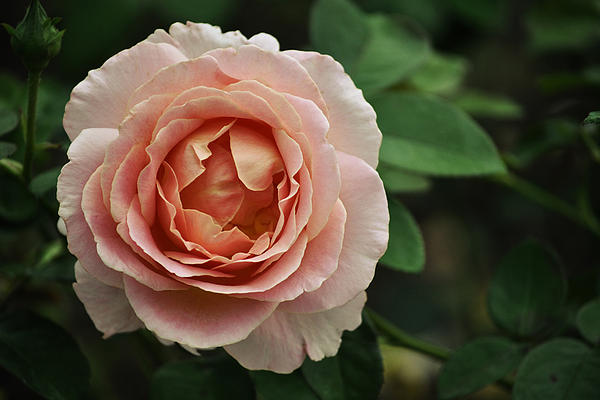 Mary Machare - Delicate Pink Rose