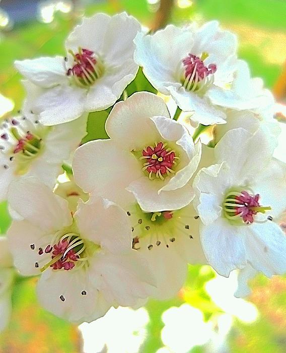 Delicate White Blossoms Photograph  - Delicate White Blossoms Fine Art Print