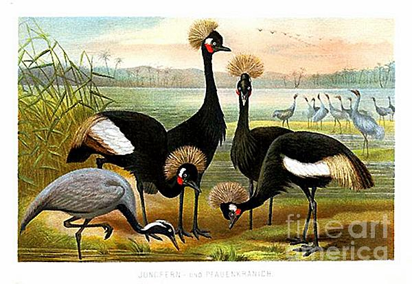 Brehm - Demoiselle  Black Crowned and Sarus Cranes by Alfred Brehm