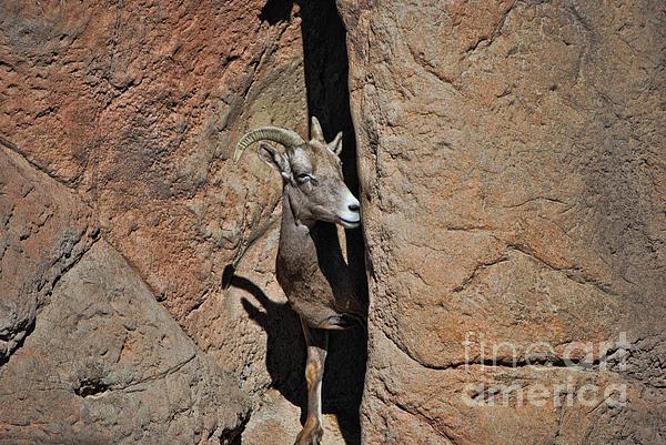 Donna Van Vlack - Desert Big Horn Sheep Female Landscape