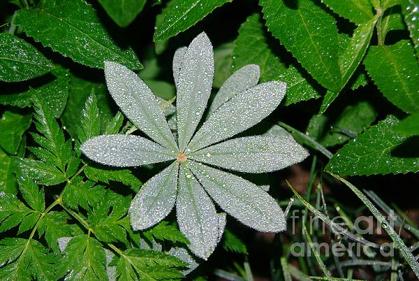 Dew Drops In The Morn  Print by Jeff  Swan