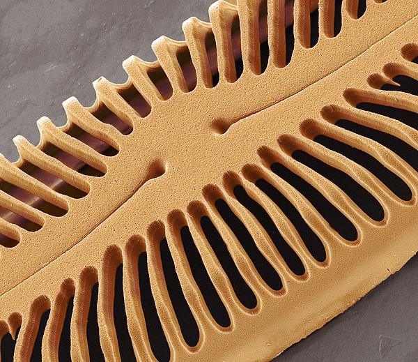 Diatom Frustule, Sem Print by Steve Gschmeissner