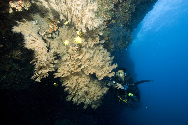 Diver Next To A Coral Fan Sheltering Print by Tim Laman