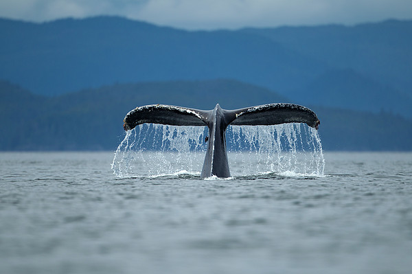 Diving Humpback Whale, Alaska Print by Paul Souders