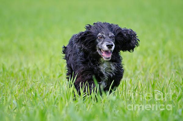 Dog Running On The Green Field Print by Mats Silvan