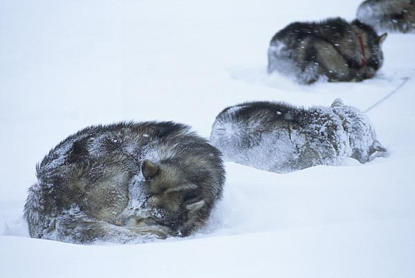 Dogs Sleep In Blizzard On Frozen Ocean Print by Gordon Wiltsie