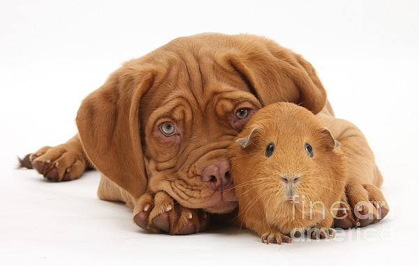 Dogue De Bordeaux Puppy With Red Guinea Print by Mark Taylor