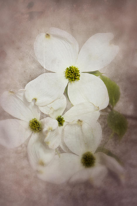 Mary Timman - Dogwood Blossoms