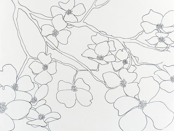 Dogwood Flower Line Drawing : Dogwood outline related keywords suggestions