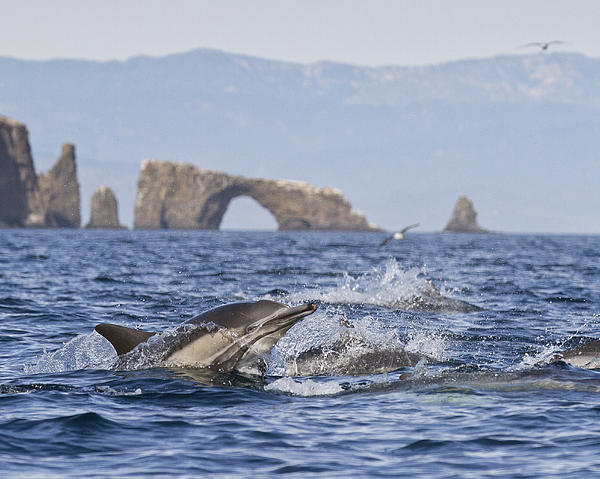Dolphins With Arch Print by Will Edwards