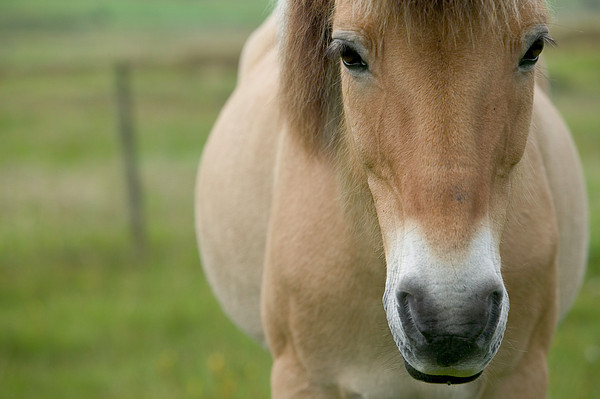 Domestic Horse Equus Caballus Portrait Print by Cyril Ruoso