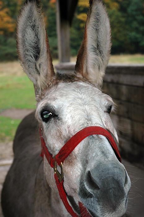 Donkey All Ears Print by LeeAnn McLaneGoetz McLaneGoetzStudioLLCcom