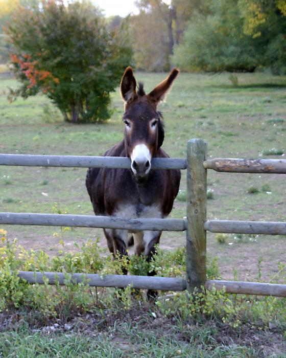 Donkey At The Fence Print by D Winston
