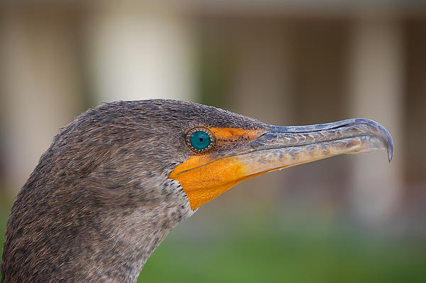 Double-crested Cormorant Print by Rich Leighton