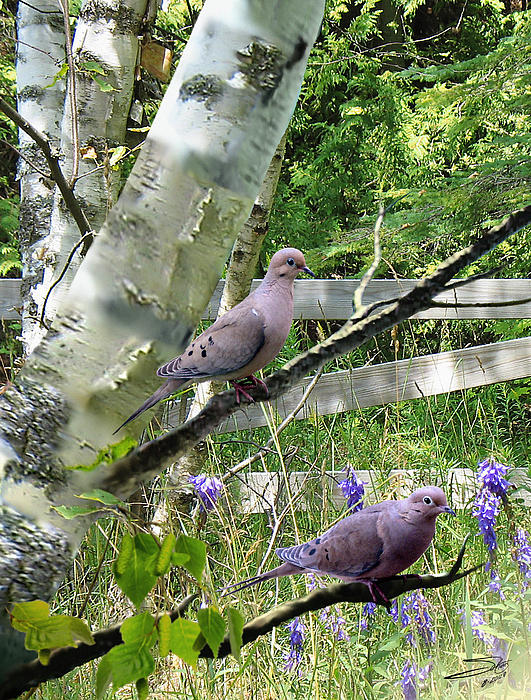IM Spadecaller - Doves in Birch Tree