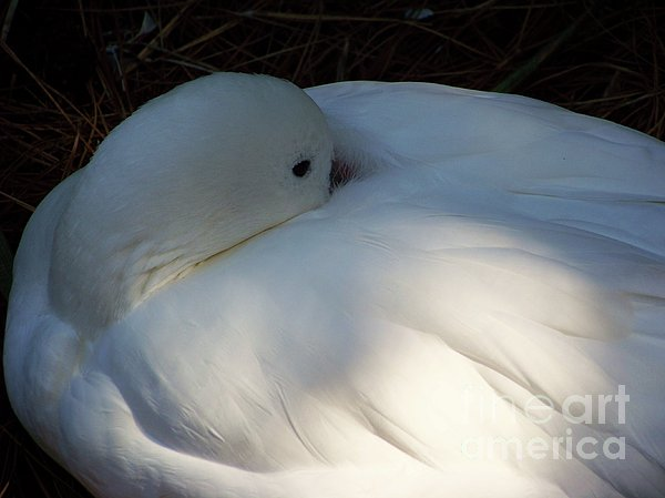 Down For A Nap Print by Karen Wiles