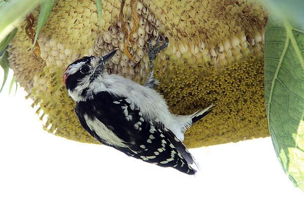 Doris Potter - Downy Woodpecker on Sunflower