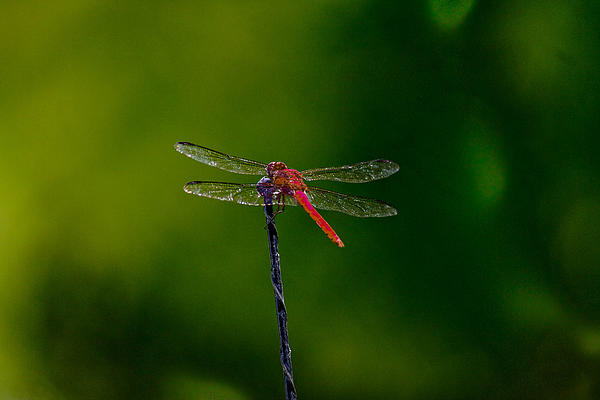 Dragon Fly At Rest Print by David Alexander