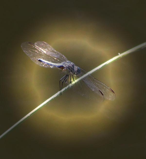 Dragonfly 1 Print by Judith Szantyr