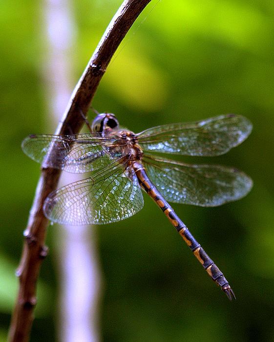 Elisabeth Dubois - Dragonfly 4