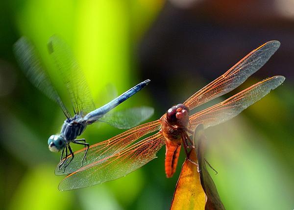 Fraida Gutovich - Dragonfly Duo