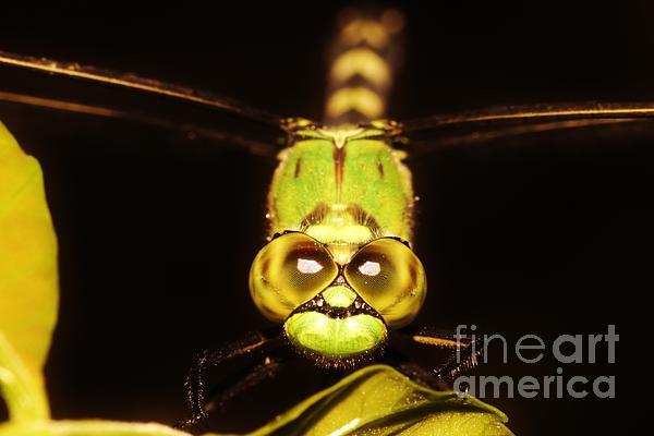 Dragonfly Eyes Print by Lynda Dawson-Youngclaus