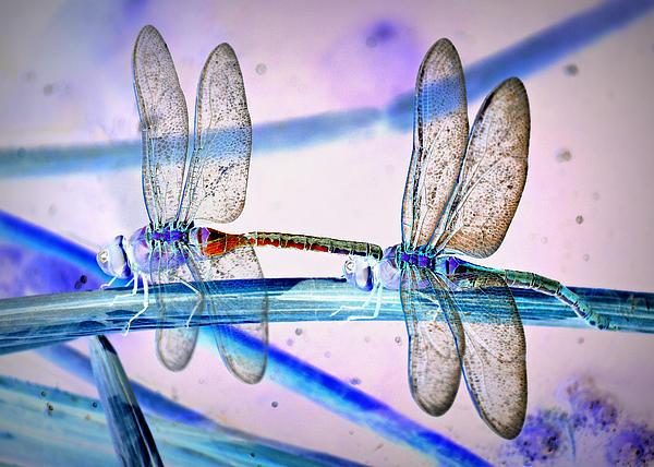 Fraida Gutovich - Dragonfly Fantasy