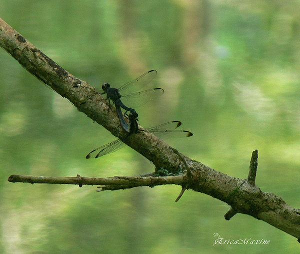 EricaMaxine  Price - Dragonfly Hanky Panky