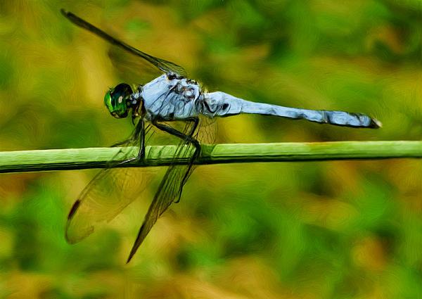 Dragonfly Print by Jack Zulli