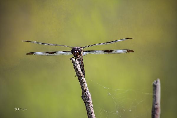 Jeff Swanson - Dragonfly
