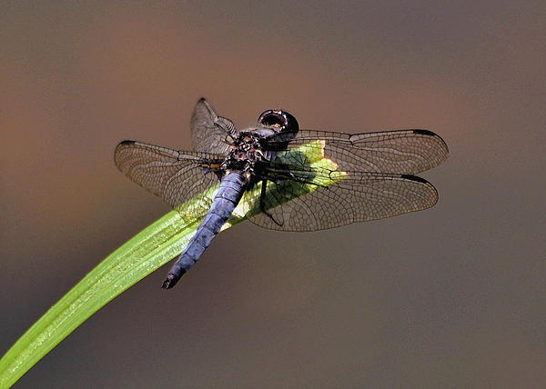 Dragonfly On Goose Feather Pond  - C2121b Print by Paul Lyndon Phillips