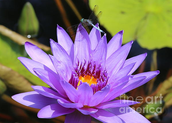 Carol Groenen - Dragonfly on Water Lily