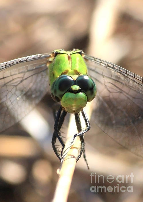 Dragonfly Perspective Print by Carol Groenen