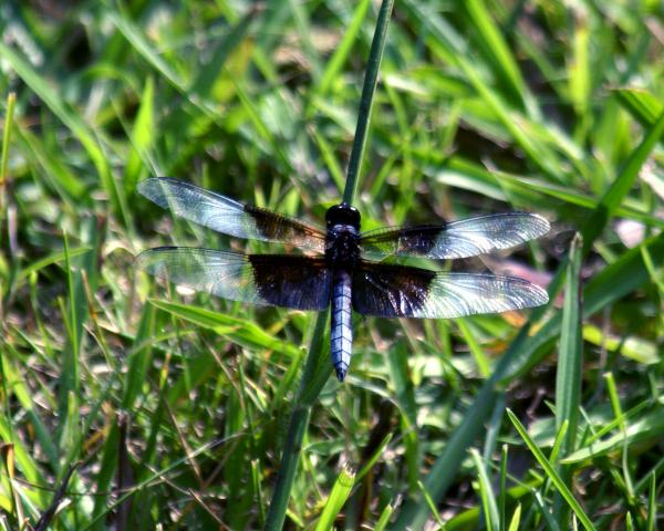 Dragonfly Resting Print by D Winston