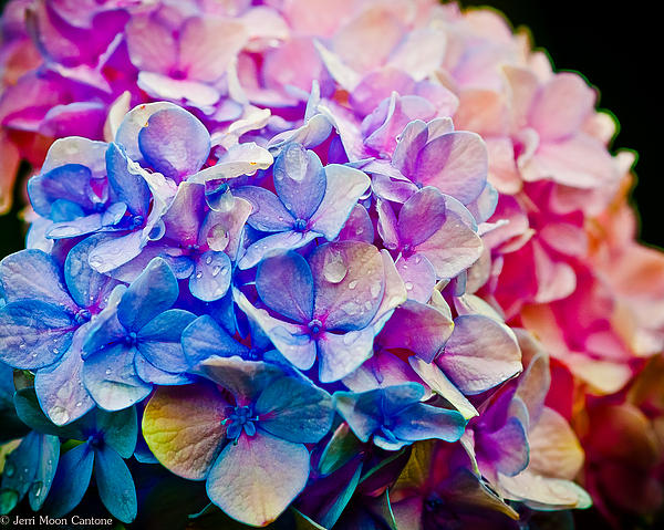 Jerri Moon Cantone - Dream Hydrangea