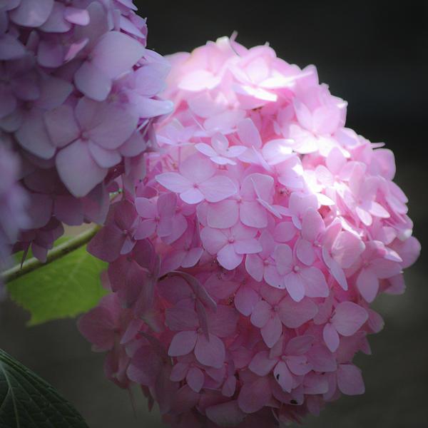 Teresa Mucha - Dreamy Pink Hydrangea Squared