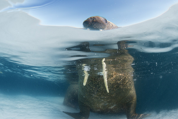 Drifting Pack Ice Enables Walrus Print by Paul Nicklen