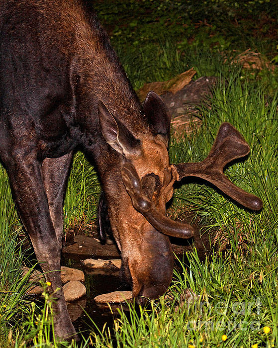 Lloyd Alexander - Drinking Moose