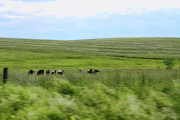 Driveby Shooting No.17 Cows Print by Christine Segalas