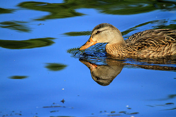 Duck Reflects Print by Karol  Livote