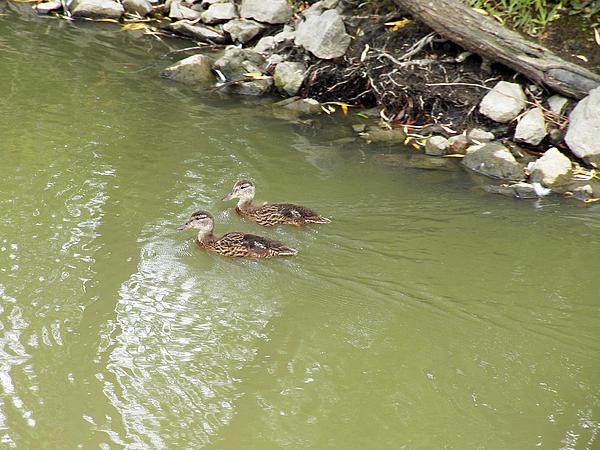 Duckling Pair Print by Corinne Elizabeth Cowherd