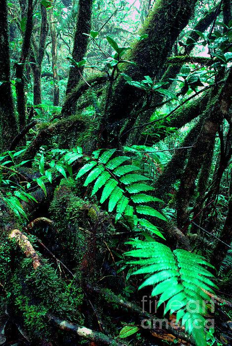 Dwarf Forest El Yunque Print by Thomas R Fletcher