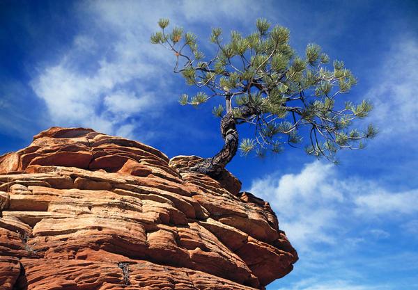Dwarf Pine And Sandstone Zion Utah Print by Utah Images